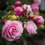Portland Sights: International Rose Test Garden
