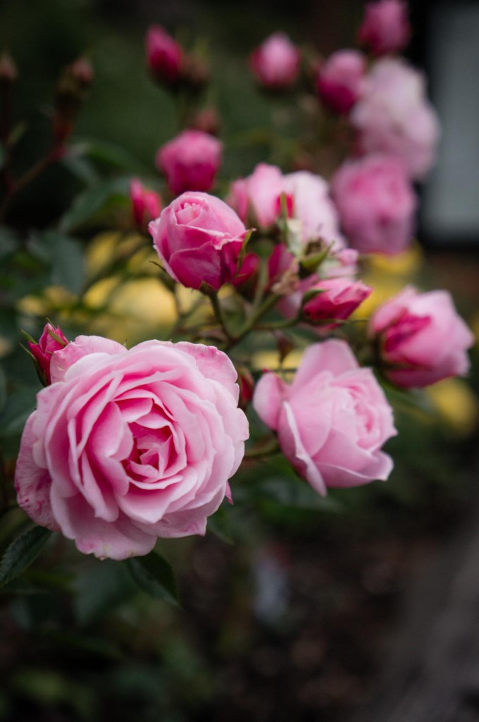 Portland Sights: International Rose Test Garden